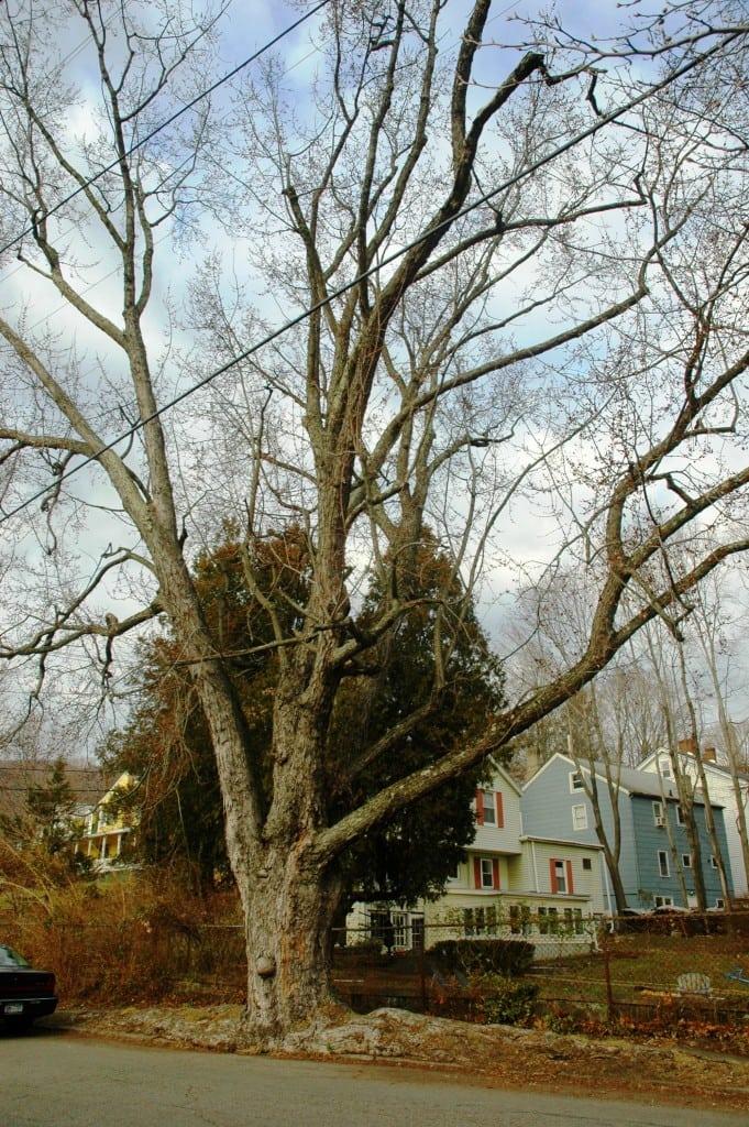 The Academy Street 'monster' maple