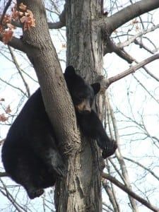 Close-up of the bear cub in a tree near Heitmuller's home(Photo courtesy of Carl Heitmuller)