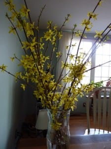 Create spring inside by forcing your forsythia to bloom now.