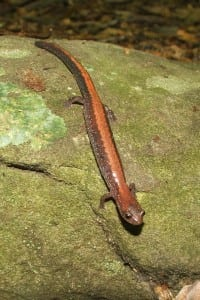 salamander redback5-08PG