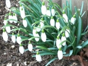 Snowdrops in Nelsonville (Photo by Mary Anne Myers)