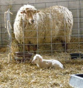 Newborn lambs give way to spring at Glynwood Farm.