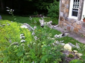 Bee-friendly mountain mint