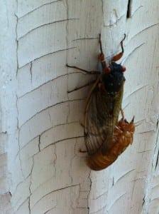 cicadas 2013 003