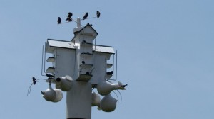 The'T-14'canhouseupto20purplemartins.