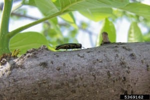 Emerald ash borer (Agrilus planipennis) Source: Marianne Prue, Ohio Department of Natural Resources - Division of Forestry, Bugwood.org