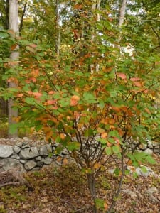 The native Shad or Amelanchier is a common understory tree in our local forests with streaked red and yellow leaves in fall.