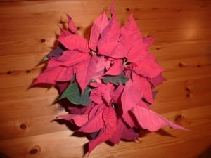 "The colorful ""flowers"" on poinsettias are actually modified leaves. (Photo P. Doan)"