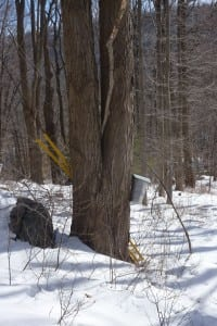 A spile and bucket attached to a sugar maple tree to gather sap for maple syrup. (Photo by P. Doan)