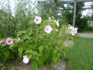 Perennialbloomsdon'tnecessarilyneedfertilizer.(PhotobyP.Doan)