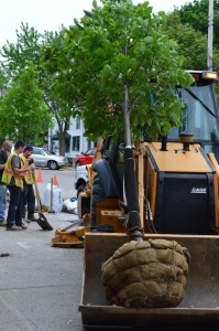Village crews added six new trees to Main Street this week. (Photo by M. Turton)