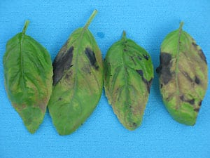Basil leaves infected with downy mildew, top view. (Photo by M. Tuttle McGrath)