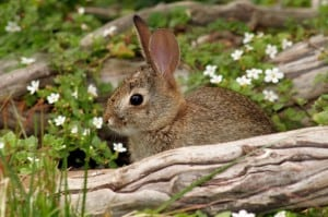 cottontail baby