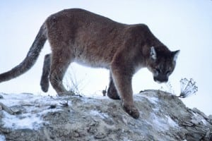 A National Park Service photo of a mountain lion in Yellowstone National Park