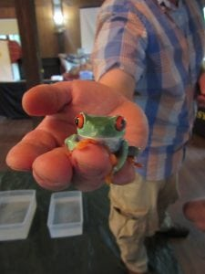 A South American red-eyed tree frog, as displayed at Hubbard Lodge at a World Wildlife program.