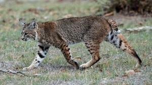 A bobcat on the Calero Creek Trail, in San Jose, California (wikipedia)