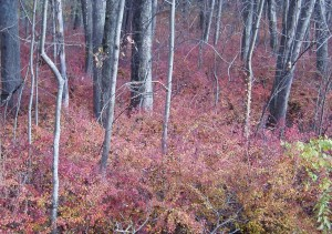 Japanese barberry is planted in a yard and then can quickly infest surrounding areas.