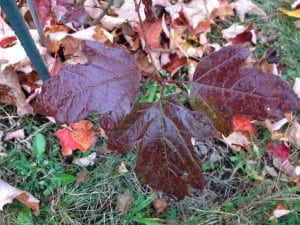 The native cranberry bush has colorful leaves in fall as an added ornamental bonus in the landscape. (Photo by P Doan)