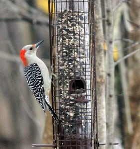 Red-bellied woodpecker (photo by Kim Clair Smith)