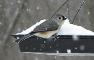 Tufted titmouse (photo by Kim Clair Smith)
