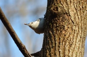 White-breasted nuthatch with sunflower seed (photo by Jeanne Tao)