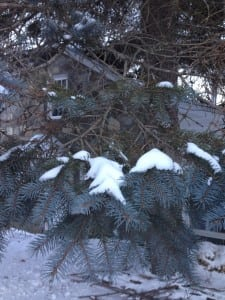 This blue spruce has whorled branches and shows the active and inactive parts of the branch. (Photo by. P Doan)