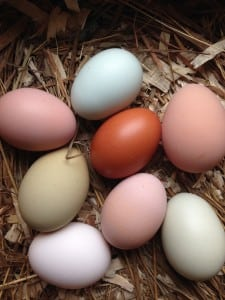 The naturally varied hues of Chickie Whiskers' eggs reflect the different breeds of hens laying them.