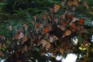 MonarchsattheirwinterhabitatinMexico