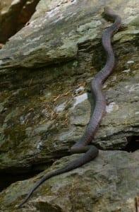 "ANorthernwatersnake(""Nerodiasipedon"")basksinthesunonarockbelowtheIndianBrookwaterfallonarecentquietweekday.Nonpoisonous,Northernwatersnakesrangefrom20to53inches(nearly4.5feet)inlength.Dwellinginmarshes,ponds,streamsandrivers,theyfeedonminnowsandlittlefish,frogs,youngturtles,crustaceans,salamandersand–attimes–smallmammals.Althoughpronetofleeifpossible,theycanstrikerepeatedlyifbotheredandcornered,withabitethatcanproduceintensebleeding.(PhotobyLizSchevtchukArmstrong)"