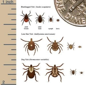 The life cycle of various ticks (Source: CDC)