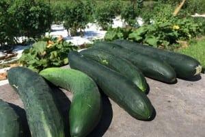 Farmstandcucumbers