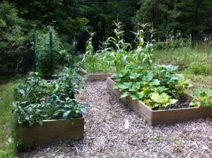 Raised beds filled by using the lasagna gardening method can produce a good harvest. (Photo by P. Doan)