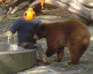 AblackbearatTrailsideZooenjoys Halloweentreats(photoprovided)