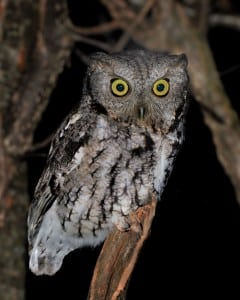 Screech owl (Photo by Jim Ridley)
