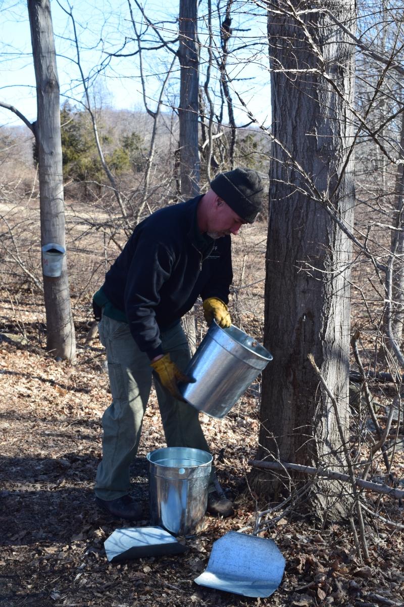 Harvesting sap