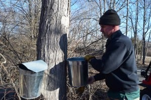 John Stowell collects sap at TOEC (photo by M. Turton)