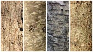 "Theridgedbarkofasugarmaple; scratchthebarkofablackbirchandthewintergeenscentisagiveaway; lenticelsandcolormakethepaperbircheasytoID; and rust-colored""skitracks""onaredoak(photos by P. Doan)"