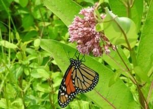 A monarch. (PhotobyCharlieRoberto)