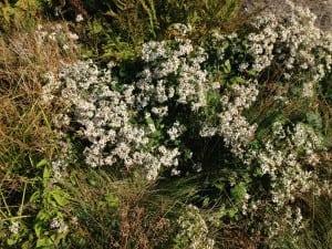 WhitewoodastersinthenativeplantgardenattheNewYorkBotanicalGarden.(PhotobyP.Doan)