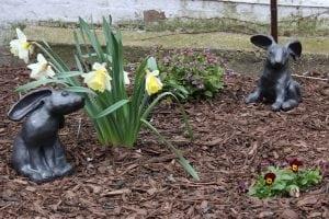 Springishere:daffodilsandbunnies(photobyA.Rooney)