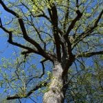 Letter: Trees for Cold Spring