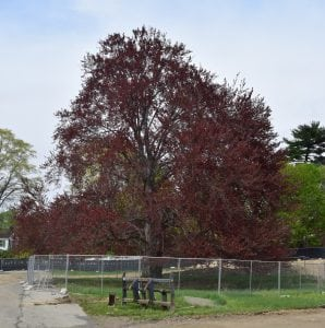 copper beech2