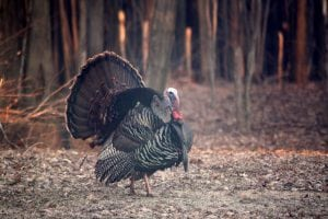 A tom turkey struts across a field in Oswego County. (Photo by Nancy Weaver Bookheimer)