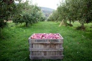 Gathering the apples at Fishkill Farm (photo provided)