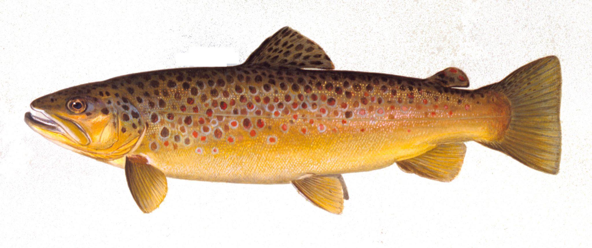 b5243b2023d Brown trout. Each spring ...