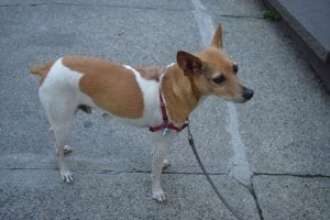 Bug, a rat terrier, is a frequent pedestrian in Cold Spring. (Photo by M. Turton)