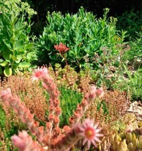 Sedums tolerate hot, dry conditions well. (Photo by P. Doan)