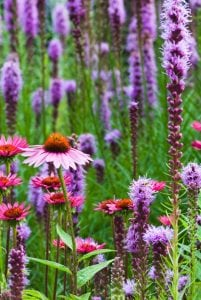 Liatris flowers (photo provided)