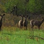 A group of deer (photo by Dick Thomas/DEC)