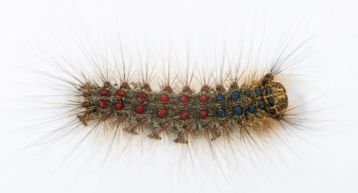 Gypsy Moths Make Unwelcome Return